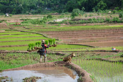 Myanmar farmer collec. Maesot Tak  Thailand  June 25 2016 : Myanmar farmer Stock Images