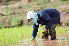 Myanmar farmer. Maesot  Tak Thailand June 25  2016  Myanmar farmer Royalty Free Stock Photography