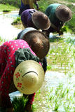 Myanmar farmer working in ricefield. Royalty Free Stock Photography