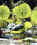 Myanmar, Inle lake: lotus field Royalty Free Stock Photography