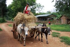 Myanmar man driving a wagon of straw with two cows Royalty Free Stock Images