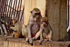 Myanmar Mount Popa Monkey. Travel through historical places in Myanmar / Birma stock photo