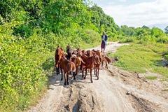 MYANMAR, o 14 de novembro de 2015: Sheperd com seu rebanho das cabras Foto de Stock Royalty Free