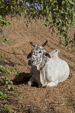 Myanmar, the ox Stock Images