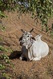 Myanmar oxen Arkivbilder