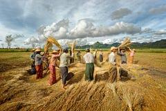 MYANMAR, TAUNGGI 18 november De niet geïdentificeerde landbouwers werken in rijst Stock Foto