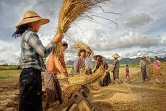 MYANMAR, TAUNGGI 18. November Nicht identifizierte Landwirtarbeit im Reis Stockbilder