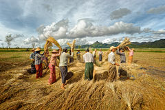 MYANMAR, TAUNGGI. 18 november. Unidentified farmers work in rice Stock Photo