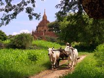Myanmar vintage landscape. Rural vintage scene of Myanmar (Burma), near Bagan, with temple ruins in the background and a farmer with his oxen in front Royalty Free Stock Images