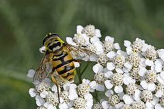 Myathropa florea, Syrphid fly on Yarrow bloom. (Achillea) in Germany, Europe Royalty Free Stock Image