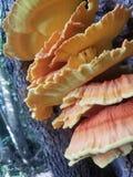 mycète photo stock
