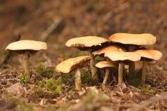 Mycète Image libre de droits
