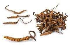 Mycète de tracteur à chenilles (sinensis d'Ophiocordyceps) image libre de droits