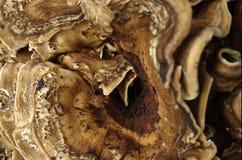 Mycète en bois III Photos libres de droits