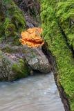 Mycète orange sur un joncteur réseau d'arbre Photos libres de droits