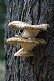 Mycète s'élevant sur l'arbre Photos stock