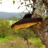 Mycète s'élevant sur l'arbre Image libre de droits