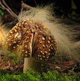 Mycète sur le mycète Photo libre de droits