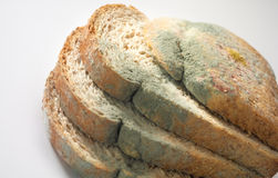 Mycète sur le pain Images stock