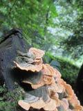 Mycète sur un logarithme naturel photographie stock