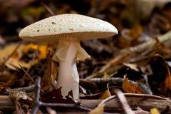 Mycètes, champignons de couche dans une forêt image stock