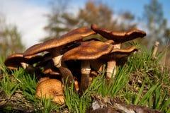 Mycètes, champignons de couche dans une forêt Photos libres de droits
