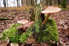Mycètes, champignons de couche dans une forêt photo stock