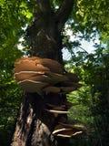 Mycètes d'arbre photos libres de droits