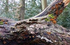 Mycètes de bride sur un arbre mort Image libre de droits