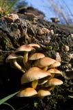 Mycètes groupés de Woodlover, champignons de couche dans une forêt photos libres de droits