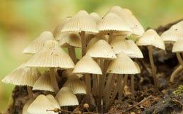 Mycètes Mycena Abramsii Photo libre de droits
