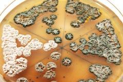 Mycètes sur l'agar image libre de droits