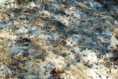 Mycéliums de la rouille de typhula, ou moule de neige photo libre de droits