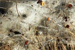 Mycéliums de la rouille de typhula, ou moule de neige photographie stock libre de droits