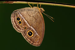 Mycalesis mineus /butterfly Stock Photography