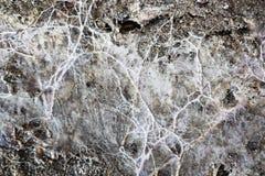 Mycelium do fungo da mina na superfície de madeira úmida fotos de stock