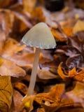 Mycena蘑菇在森林里 免版税库存照片