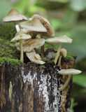 帽子公用真菌mycena 库存图片