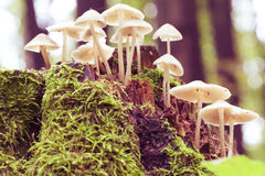 Mycena arcangeliana Royalty Free Stock Image