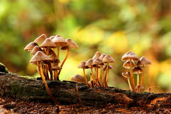 Mycena fungi Royalty Free Stock Images