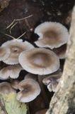 Mycena galericulata蘑菇 库存图片