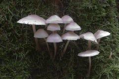 Mycena galericulata蘑菇 图库摄影