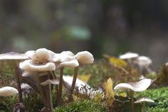 Mycena galericulata mushrooms Stock Photos