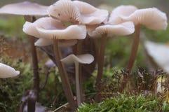 Mycena galericulata mushrooms Royalty Free Stock Photo
