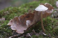 Mycena galericulata pieczarka Zdjęcie Royalty Free