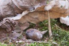 Mycena galericulata pieczarka Obrazy Royalty Free