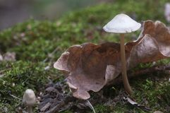 Mycena galericulata pieczarka Fotografia Stock