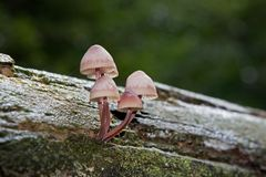 Mycena grows on dead wood Royalty Free Stock Photography