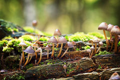 Mycena haematopus fungi Royalty Free Stock Photography