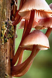 Mycena inclinata tree  mushroom Stock Photos